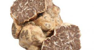 جشنواره ملی قارچ خوراکی,جشنواره ملی قارچ خوراکی سفید ترافل ایتالیا,قارچ خوراکی سفید ترافل,قارچ سفید ترافل